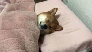 柴犬|犬|寝具|ベッド|睡眠