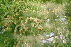 キャンピングカー レンタル 花粉 花粉対策 スギ ヒノキ 予防